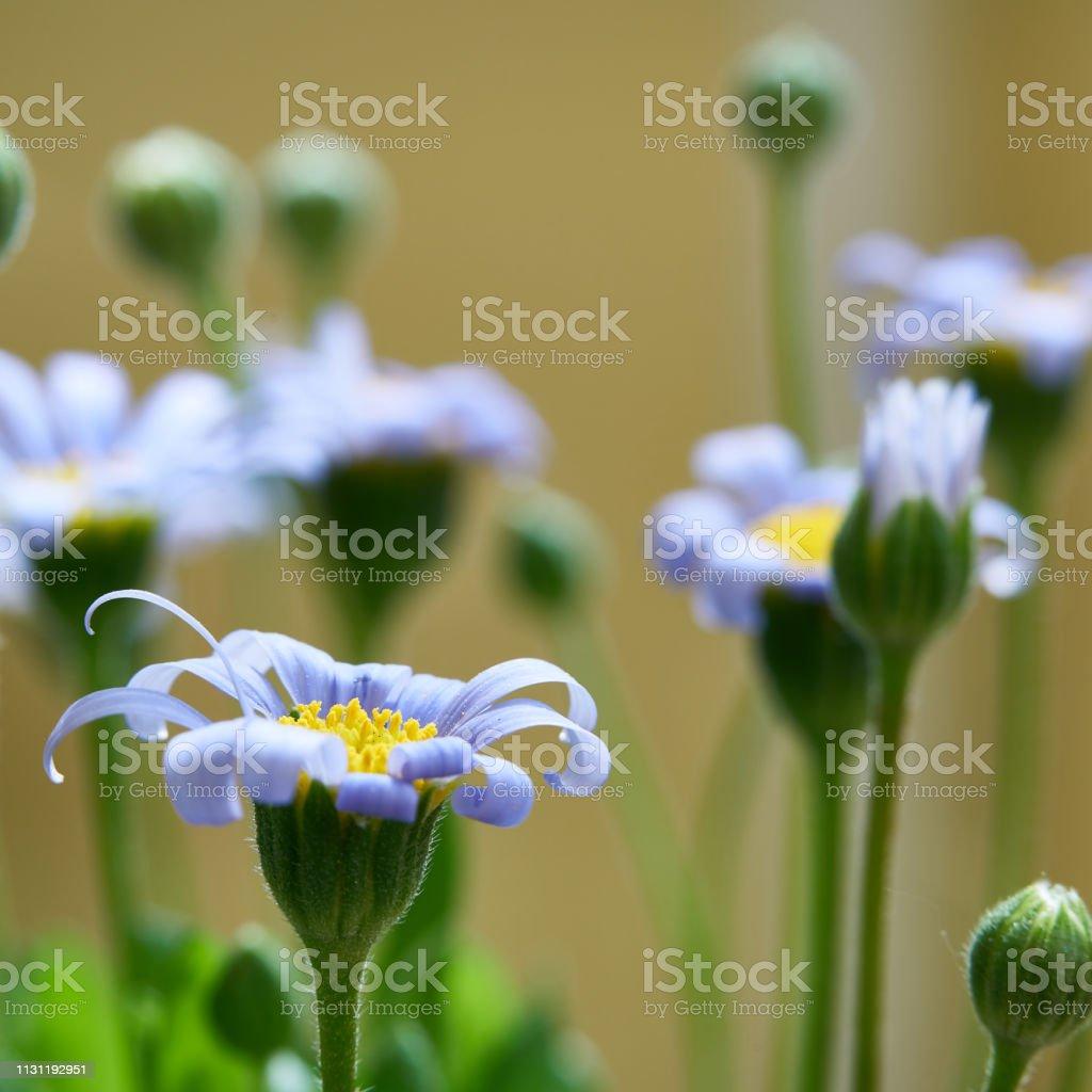 Blaue Gänseblümchen im Sommer – Foto