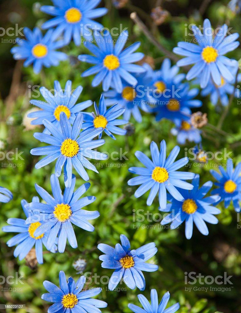 Blue Daisies stock photo