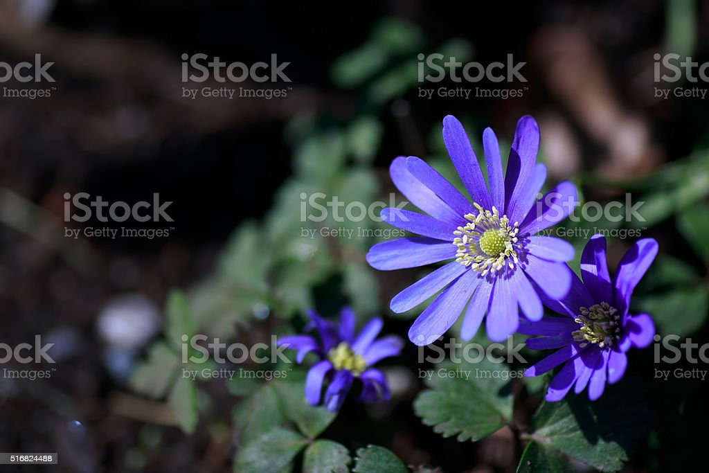 blue daisy flowers stock photo