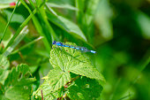 Blue Damselfly on a leaf in Duck Mountian Provincial Park, Manitoba