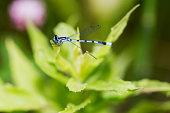 Tiny blue damselfly on grass.