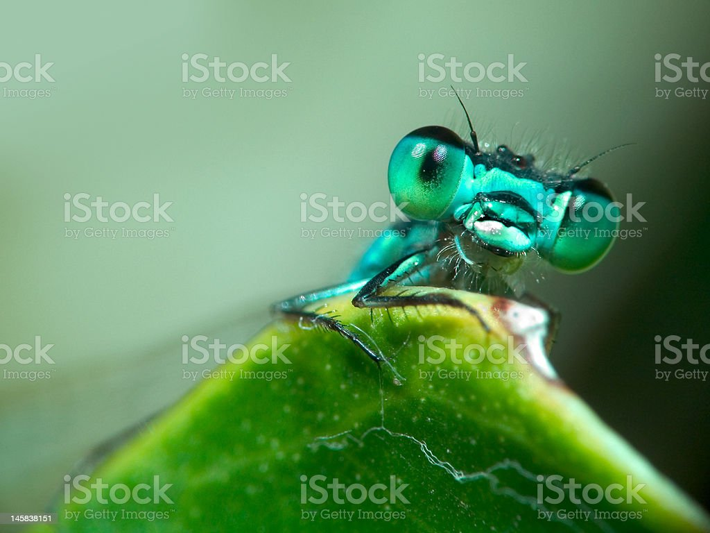 Blue Damselfly – Foto