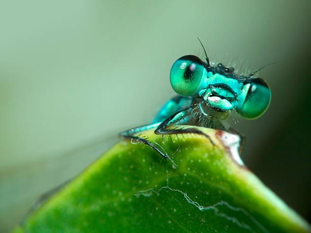 Blue Damselfly – Foto