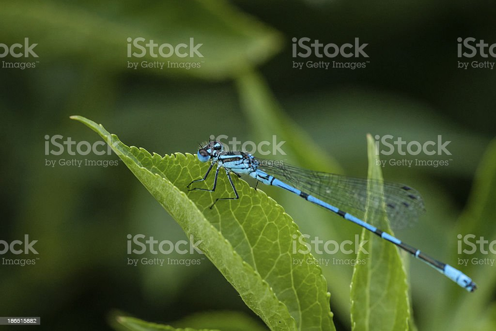 Blue damselfly royalty-free stock photo