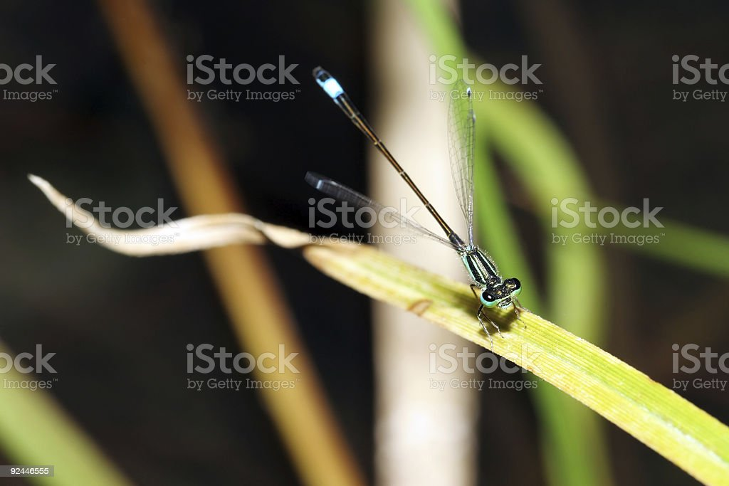Blue damselfly with open wings stock photo