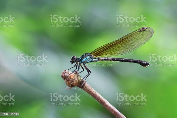 Blue Damselfy/Dragon Fly/Zygoptera sitting in the edge of bamboo stem