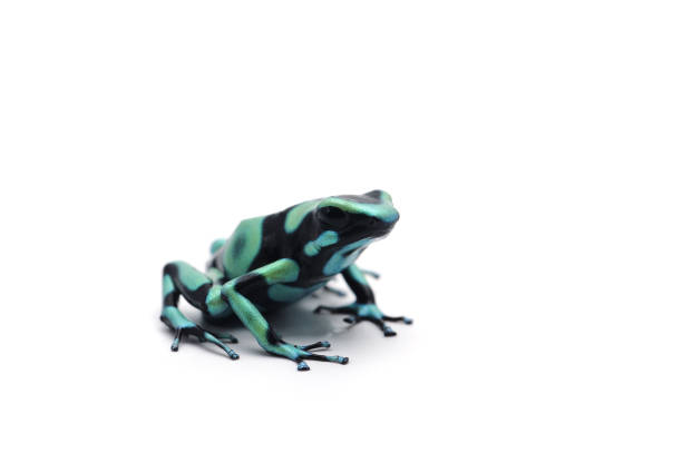 blue dart frog isolated on white background - croak stock pictures, royalty-free photos & images