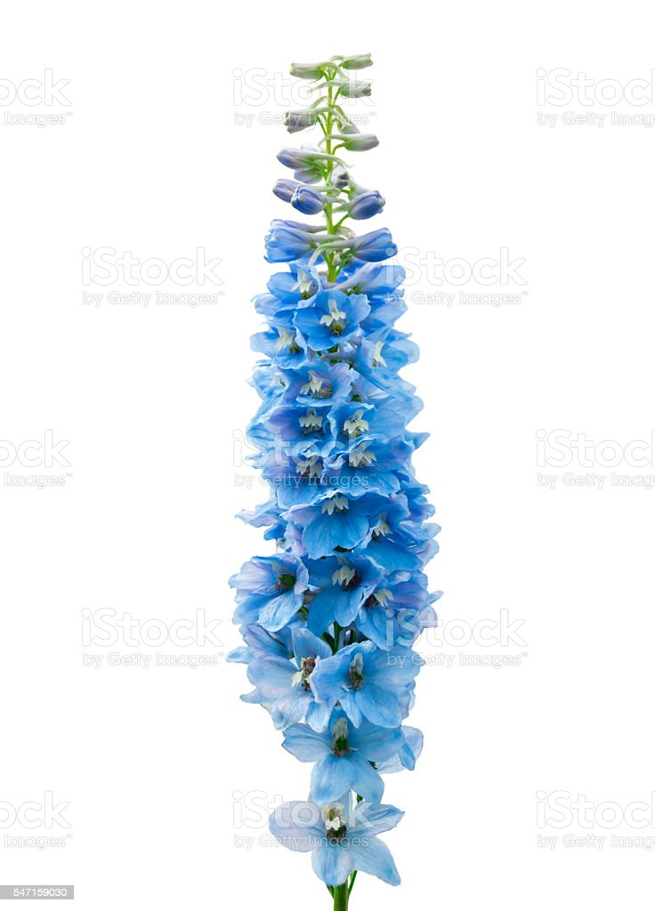 Blue delphinium flower isolated on white – Foto
