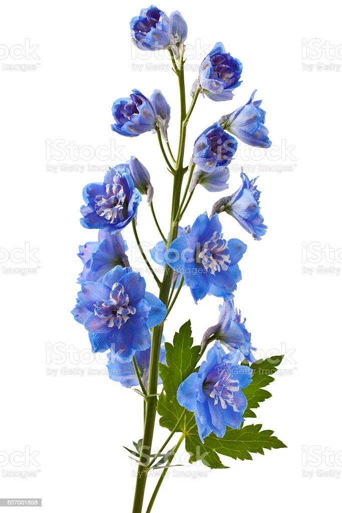 Blue delphinium flower stock photo