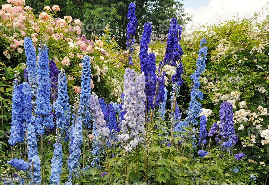 Blue delphinium flowers and roses blooming in summer garden stock photo