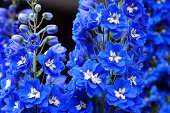 Blue Delphinium flowers.Please see more similar pictures of my Portfolio.Thank you!