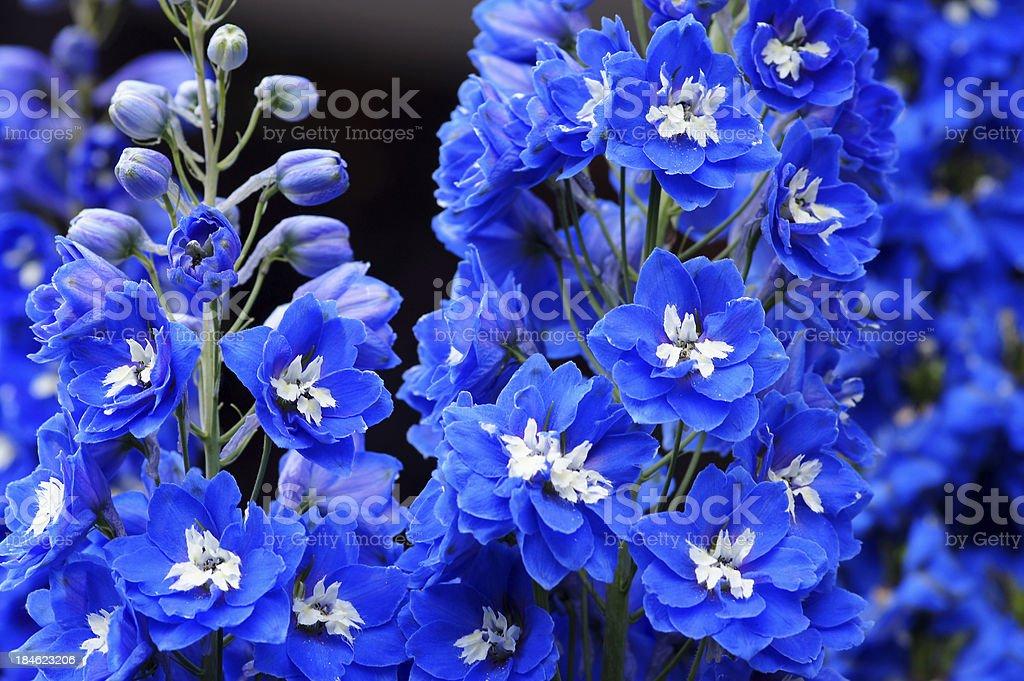 Blue Delphinium flowers stock photo