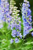 Blue Delphinium flowers in a flower garden.