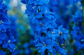 Macro of blue delphinium flowers, early morning, June 30, summer, shallow depth of field