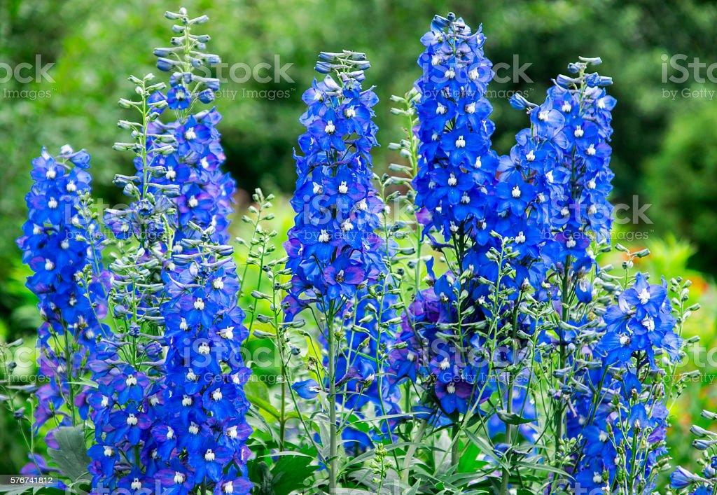 blue delphinium stock photo