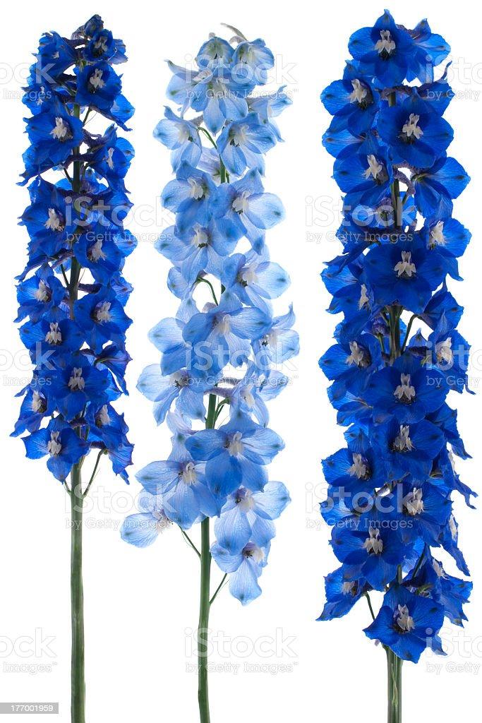 Blue delphinium plants on white background stock photo