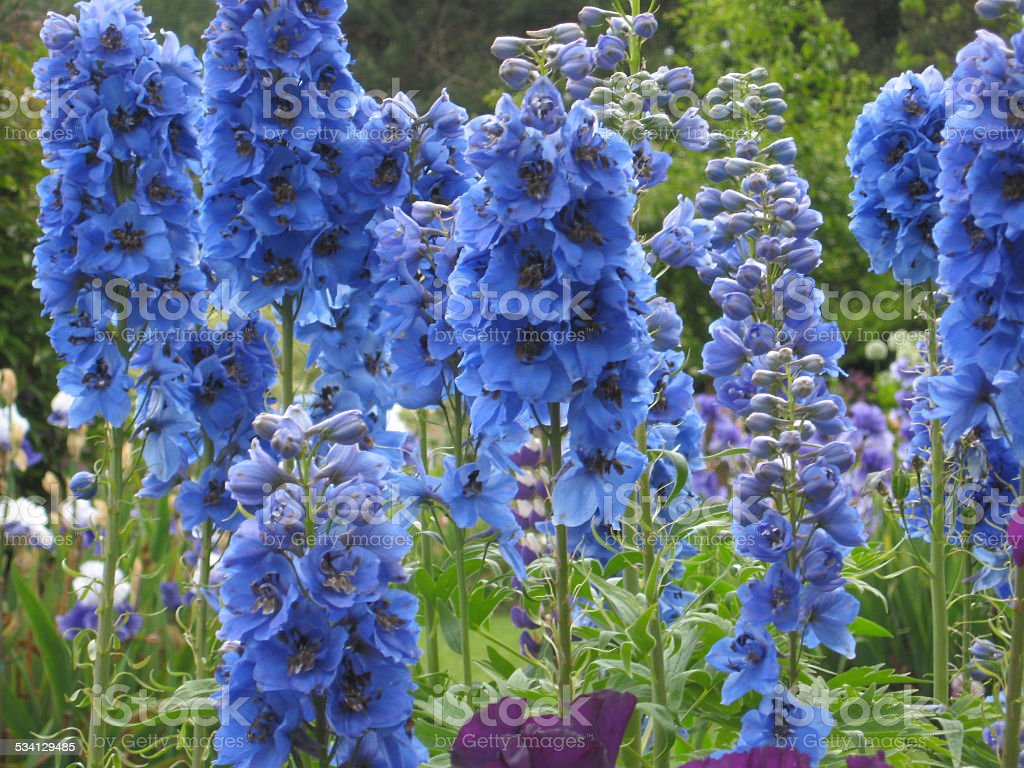 Blue Delphiniums stock photo