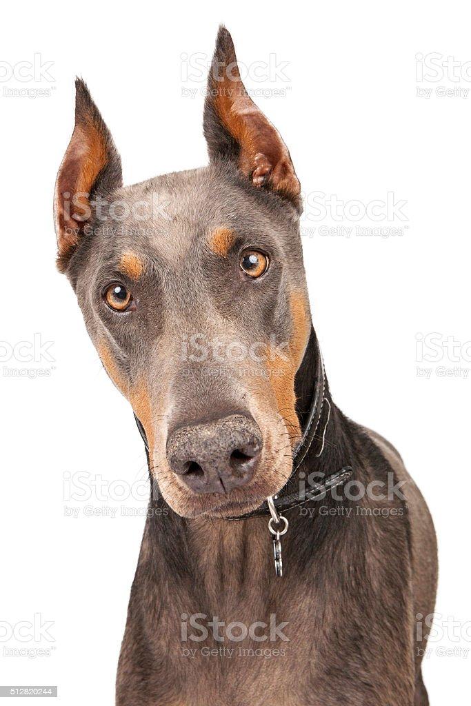 Blue Doberman Pinscher Dog Closeup Stock Photo Download Image Now Istock