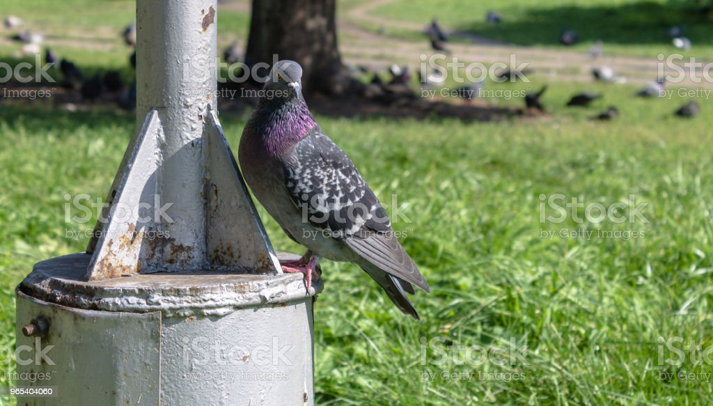 blue dove bird of peace in the park close up. City bird royalty-free stock photo