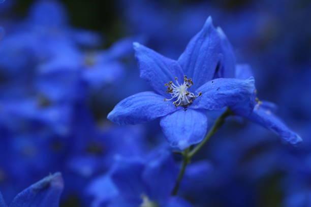 blauwe donzig gentiaan bloem - gentiaan stockfoto's en -beelden