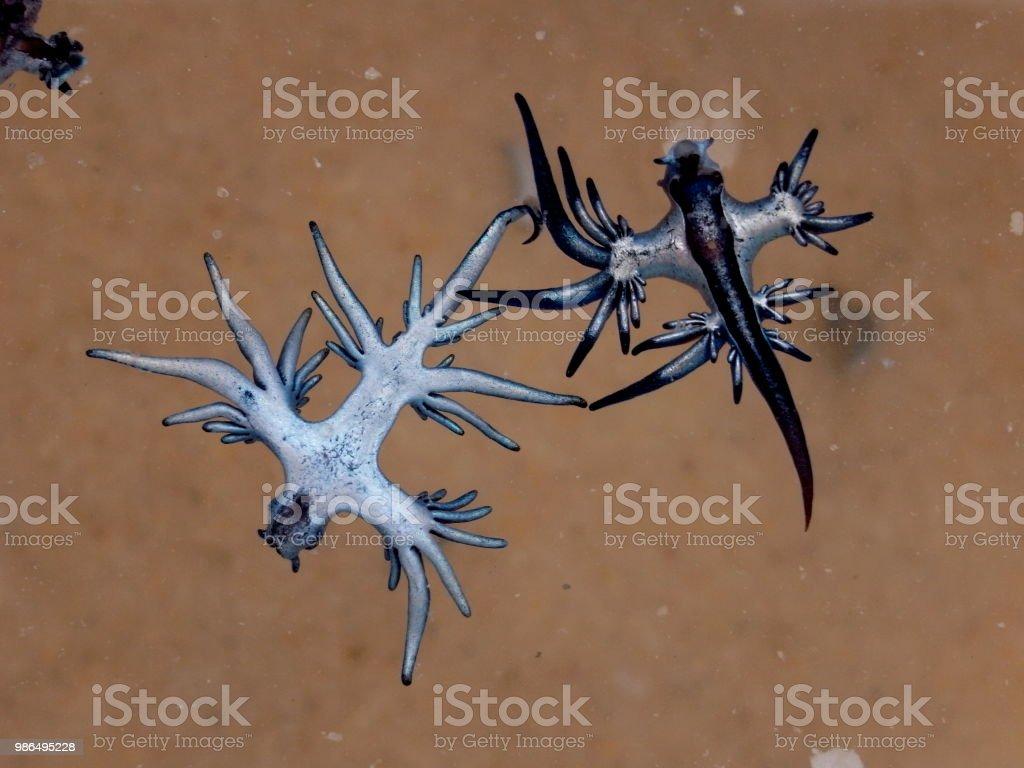 Blue Dragon, Glaucus Atlanticus, Blue Sea Slug stock photo