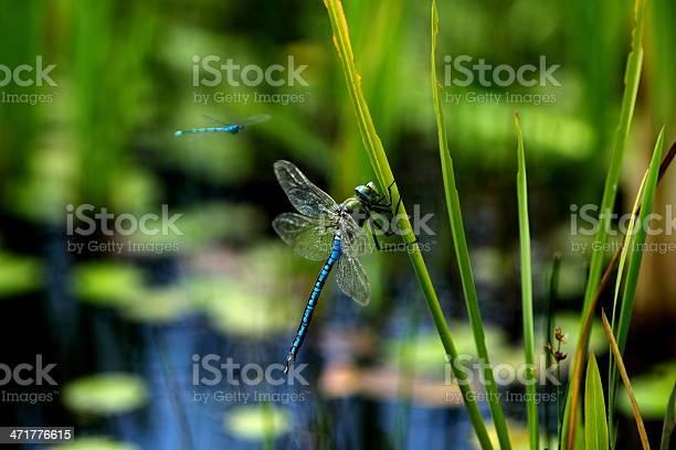 Blue dragonflies picture id471776615?b=1&k=6&m=471776615&s=612x612&h=agacpvyb1gcwh7a6psuociyjqgoli3ld51xb2hhgltk=