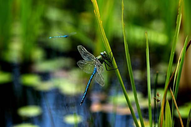 Blue dragonflies picture id471776615?b=1&k=6&m=471776615&s=612x612&w=0&h=lvowhwqcovfxkpjluoopmgm ouxyytroi8slpuyqe6u=