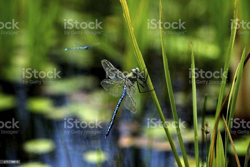 Blue Dragonflies stock photo