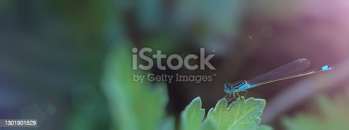 One dragonfly close-up sits on a green leaf on a sunny day outside in the garden, concept of summer, minimalism, macro photography, wide horizontal banner, selective focus, blurred background, copyspace