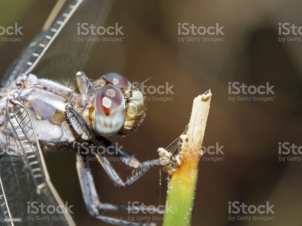 Blue dragonfly closeup royalty-free stock photo