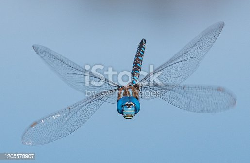 Close-ups of a blue dragonfly above the water of a lake in summer