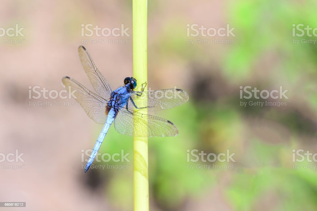 Blue dragonfly isolated on blur background. royalty-free stock photo