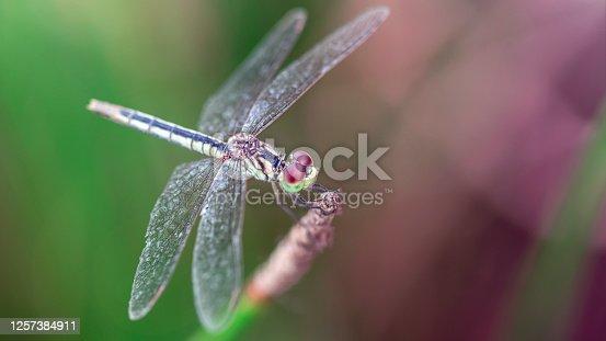 dragonfly resting on a branch, Koh Phayam, Thailand
