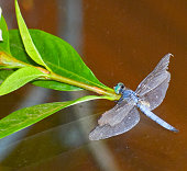 Blue Dragonfly insect Odonata perched on green leafy branch