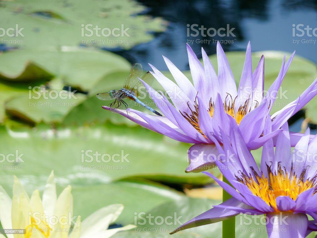 Blue dragonfly on a nymphea waterlily flower, TX, US stock photo