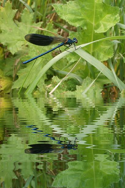 Blue dragonfly on leaf with water refections stock photo