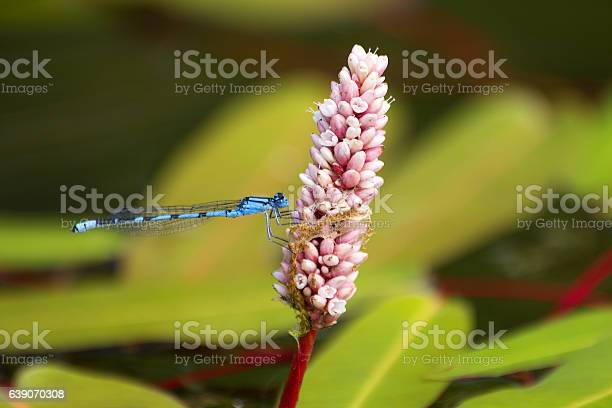 Blue dragonfly on pink flower