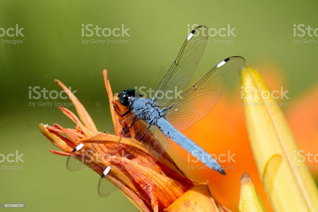 Blue dragonfly perched on orange daylillies. stock photo