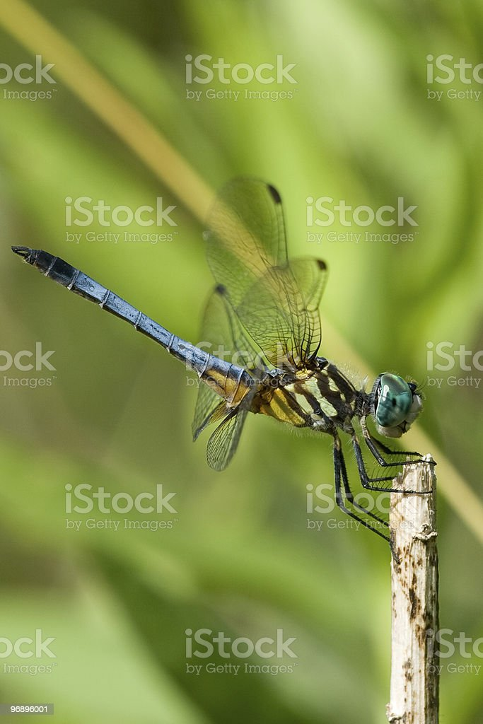 Blue Dragonfly royalty-free stock photo