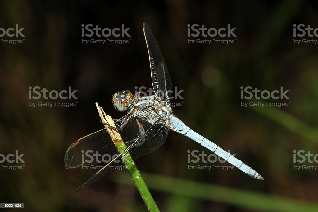 Blue dragonfly resting stock photo