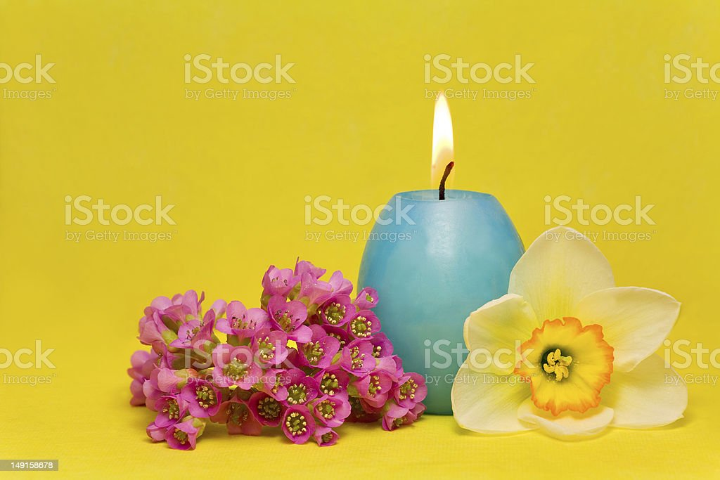 blue easter cande with   narcissus  and bergenia royalty-free stock photo