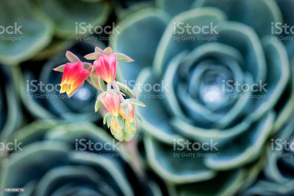 Blue Echeveria succulent in bloom with pink and yellow flowers stock photo