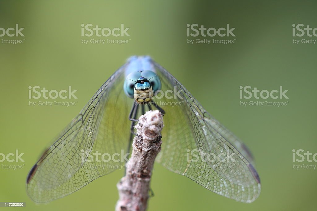 Blue Emperor Dragonfly stock photo