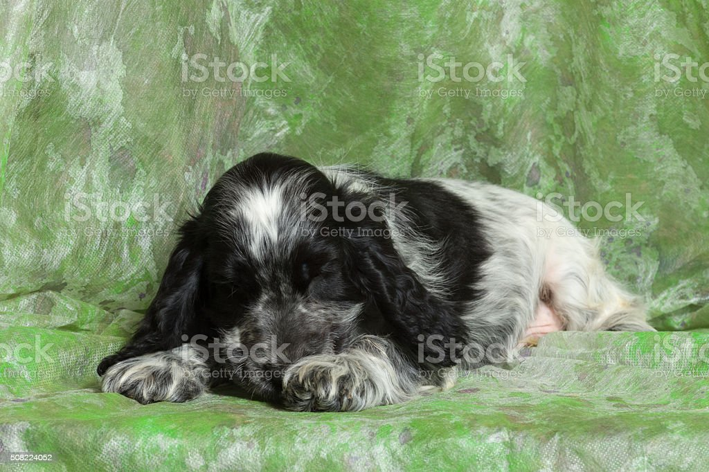 Blue English Cocker Spaniel Puppy Stock Photo Download Image Now Istock