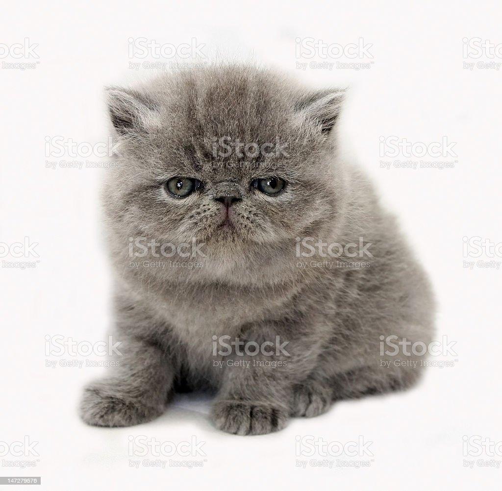 blue exotic kitten royalty-free stock photo