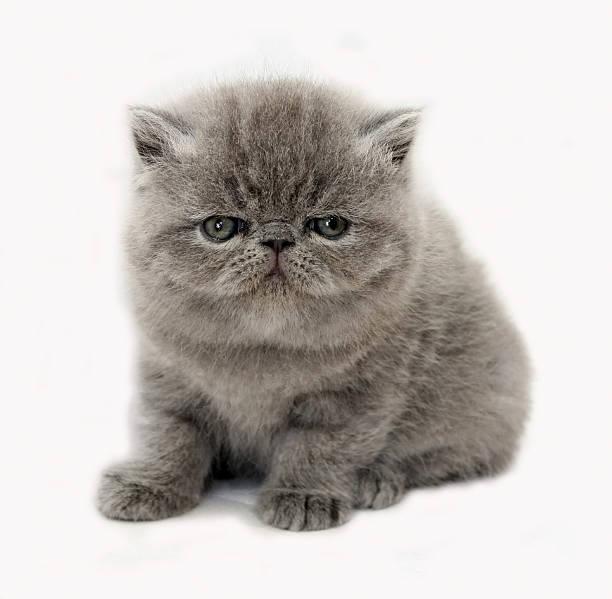 Blue exotic kitten picture id147279576?b=1&k=6&m=147279576&s=612x612&w=0&h=a4l4pmqapk  vqeqhpvcarf51nco0rc2fmrmicvbmhq=