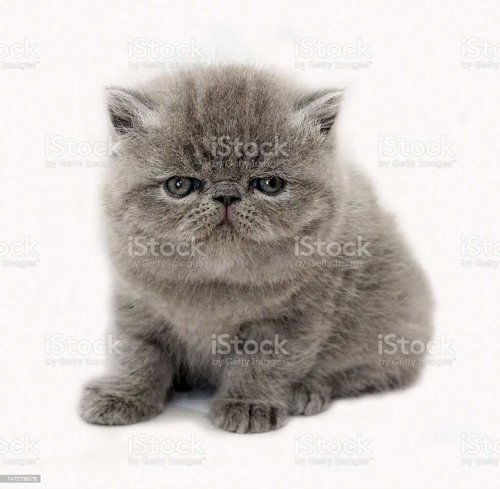 blue exotic kitten stock photo