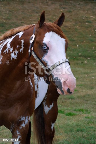 Portrait of a blue eyed overo american paint horse wearing a show halter