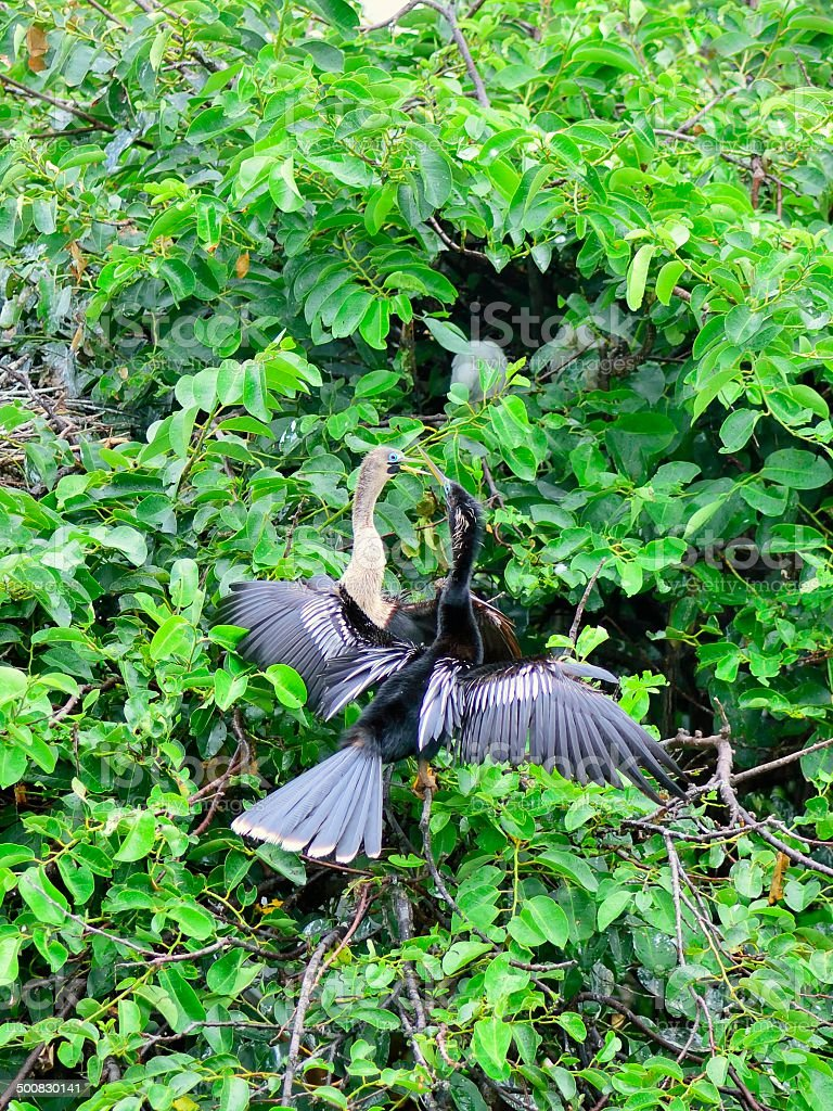 Blue Eyed Anhinga Fledglings stock photo