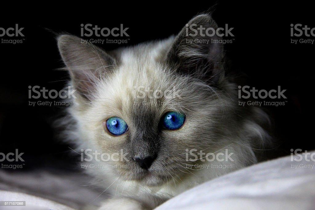 Blue eyed Biman cat - kitten portait stock photo
